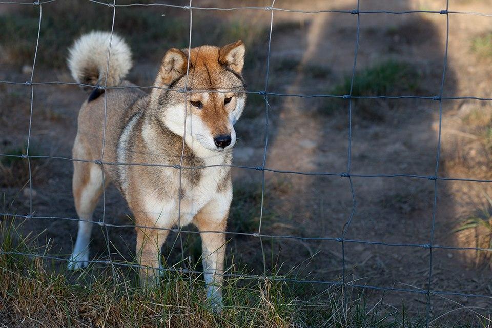 Shikoku Ken Puppies: Shikoku Time To Move On Breed