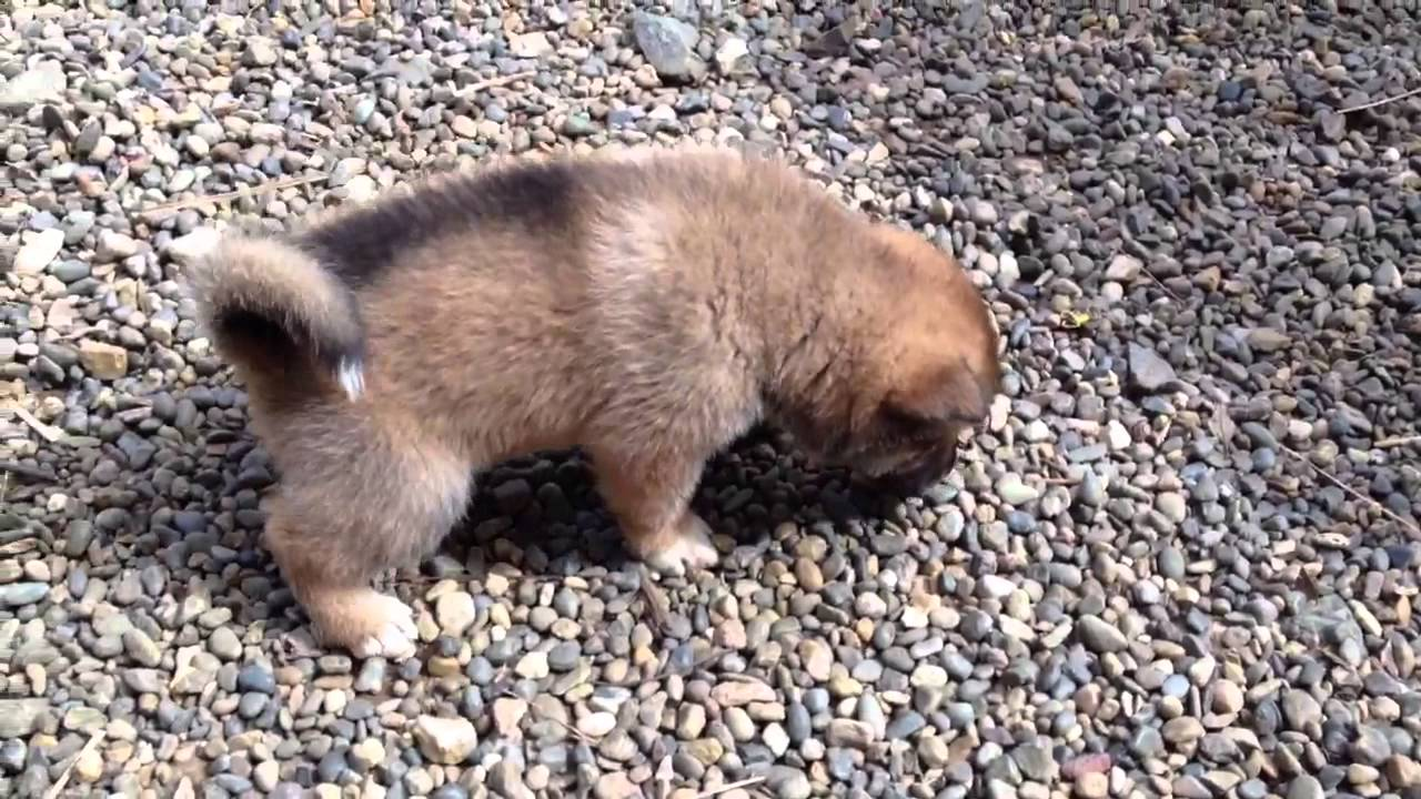 Shikoku Ken Puppies: Shikoku Watch Breed