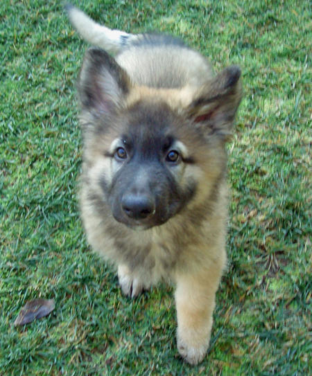 Shiloh Shepherd Puppies: Shiloh Danzig The Shiloh Shepherd Breed