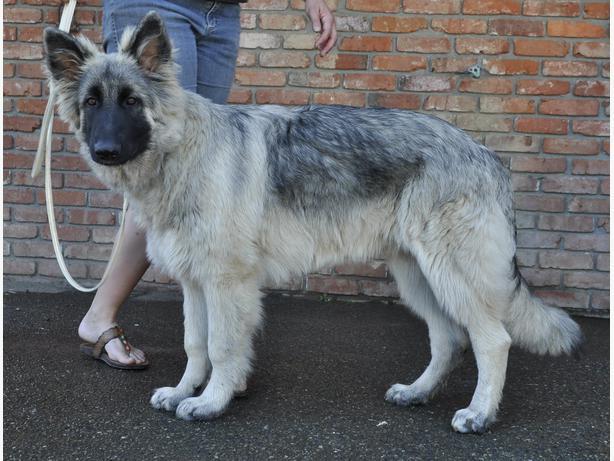 Shiloh Shepherd Puppies: Shiloh Registered Shiloh Shepherd Puppies Breed