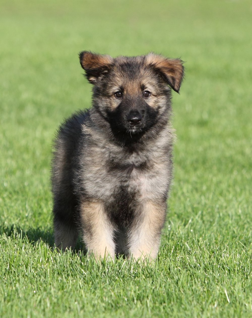 Shiloh Shepherd Puppies: Shiloh Shiloh Shepherd Breed