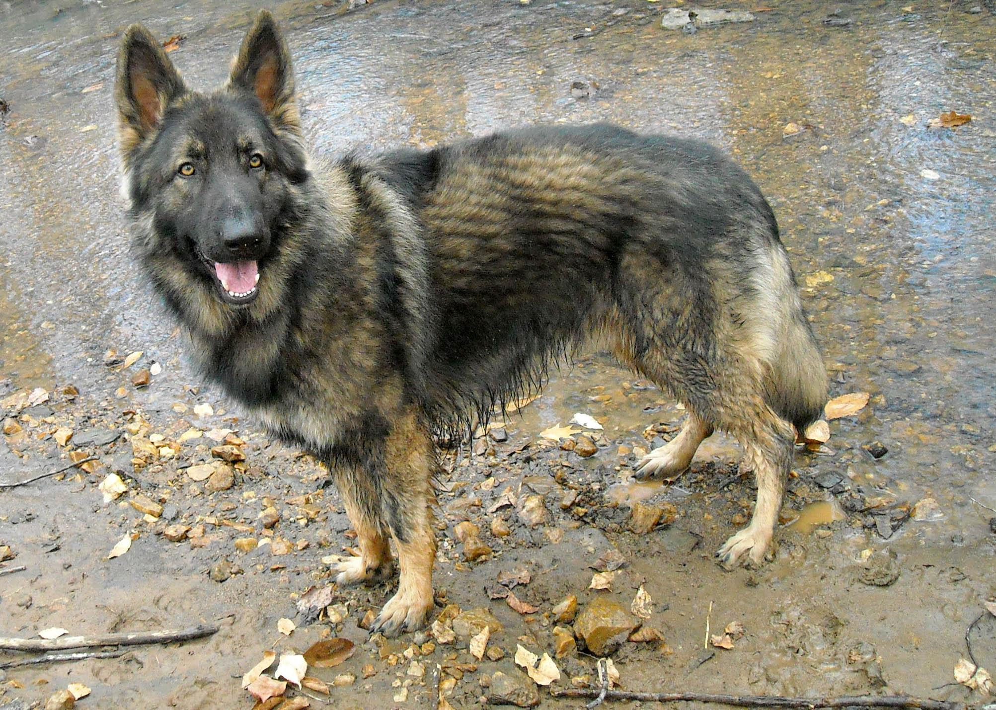 Shiloh Shepherd Dog: Shiloh Shiloh Shepherd Dog On The Road Breed