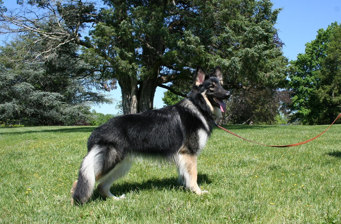 Shiloh Shepherd Puppies: Shiloh Shiloh Shepherd Dog Puppies Breed