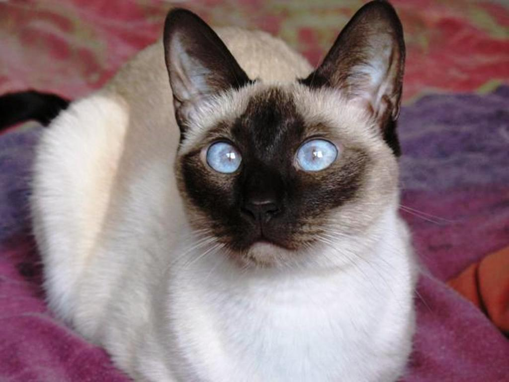 Siamese Cat: Siamese About The Siamese Cat Breed