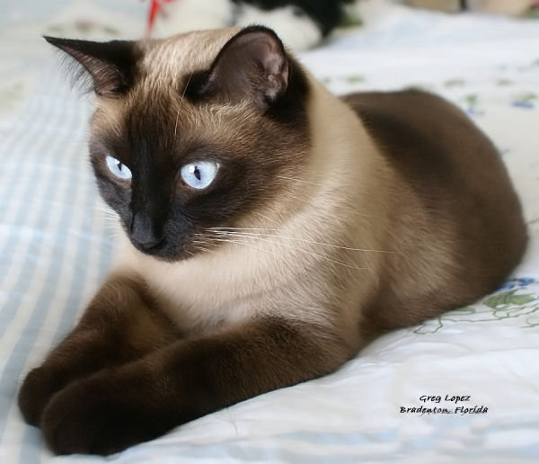 Siamese Cat: Siamese All Beautiful Cat Breeds World