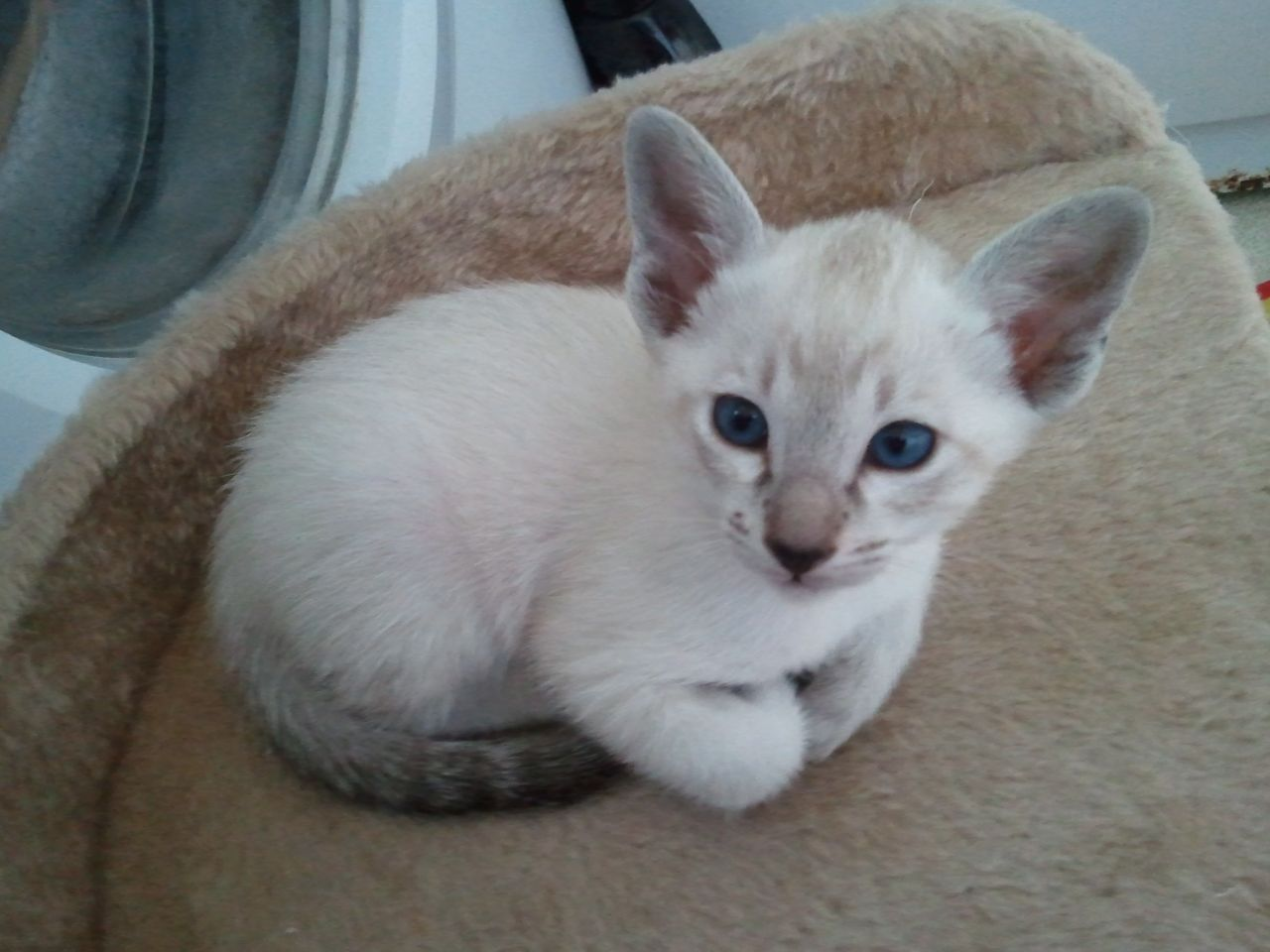 Siamese Kitten: Siamese Beautiful Pedigree Siamese Kitten Tonbridge Breed