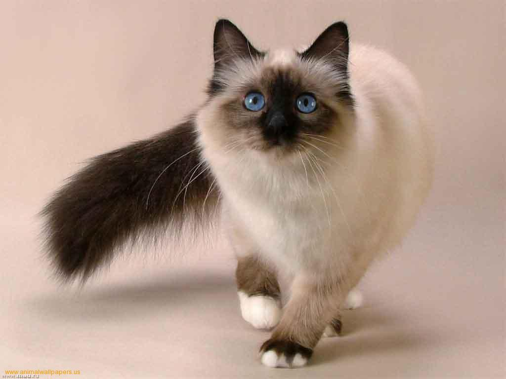 Siamese Kitten: Siamese Cat Siamese Kittens Breed