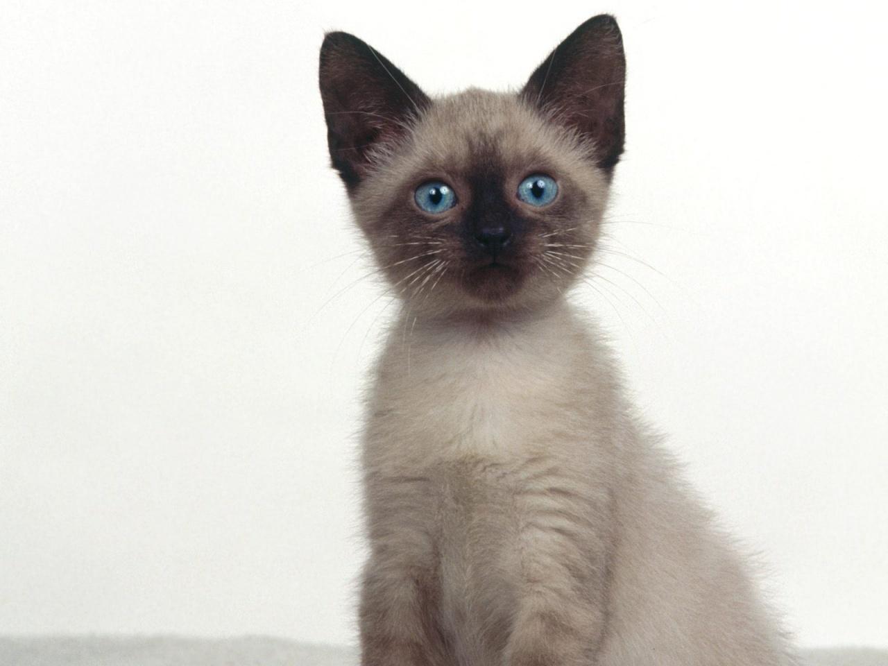 Siamese Kitten: Siamese Clhbwvzzsbraxrzwz Breed