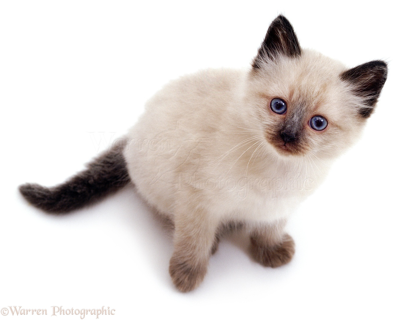 Siamese Kitten: Siamese Colourpoint Siamese Kitten Looking Up Breed