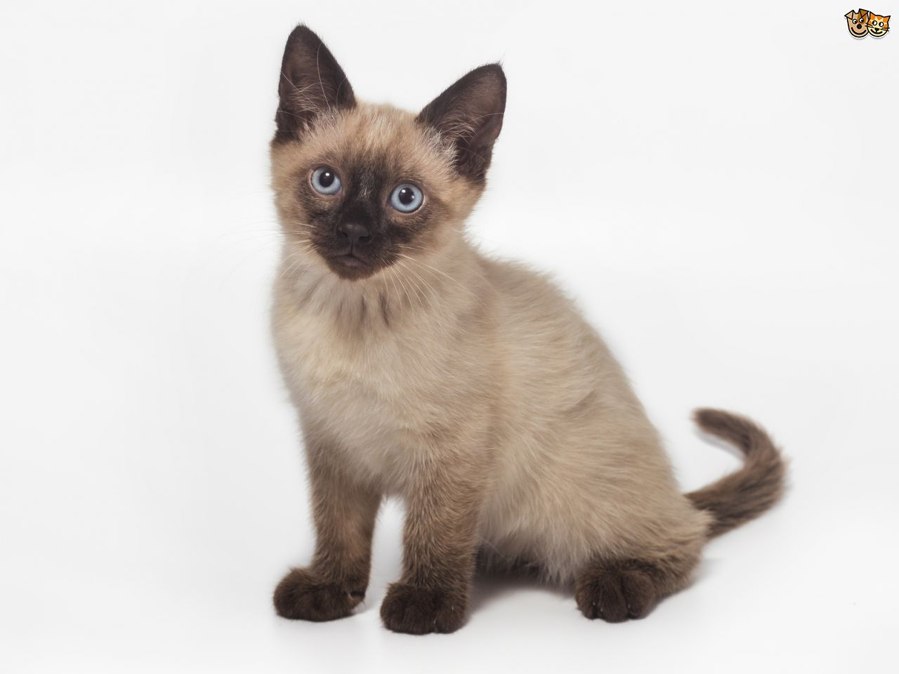 Siamese Cat: Siamese Five Universal Personality Traits Of The Siamese Cat Breed