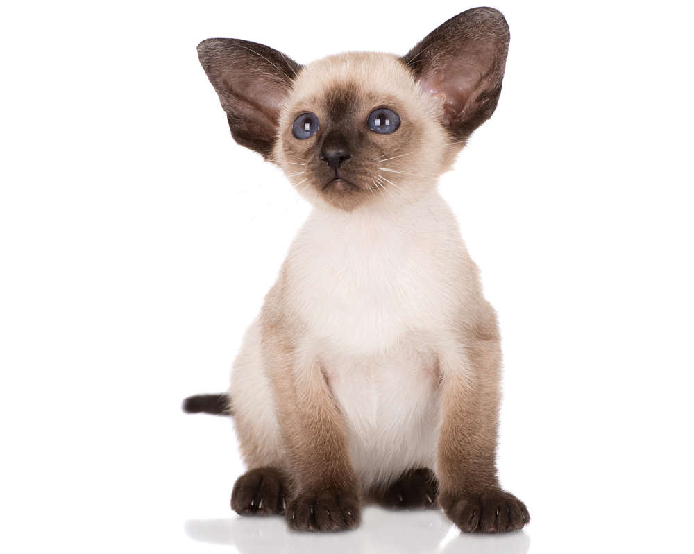 Siamese Cat: Siamese Modern Siamese Cat Breed