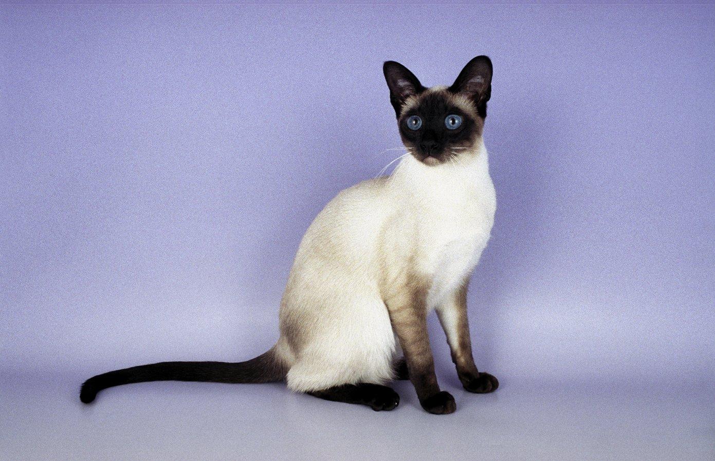 Siamese Cat: Siamese Siamese Breed