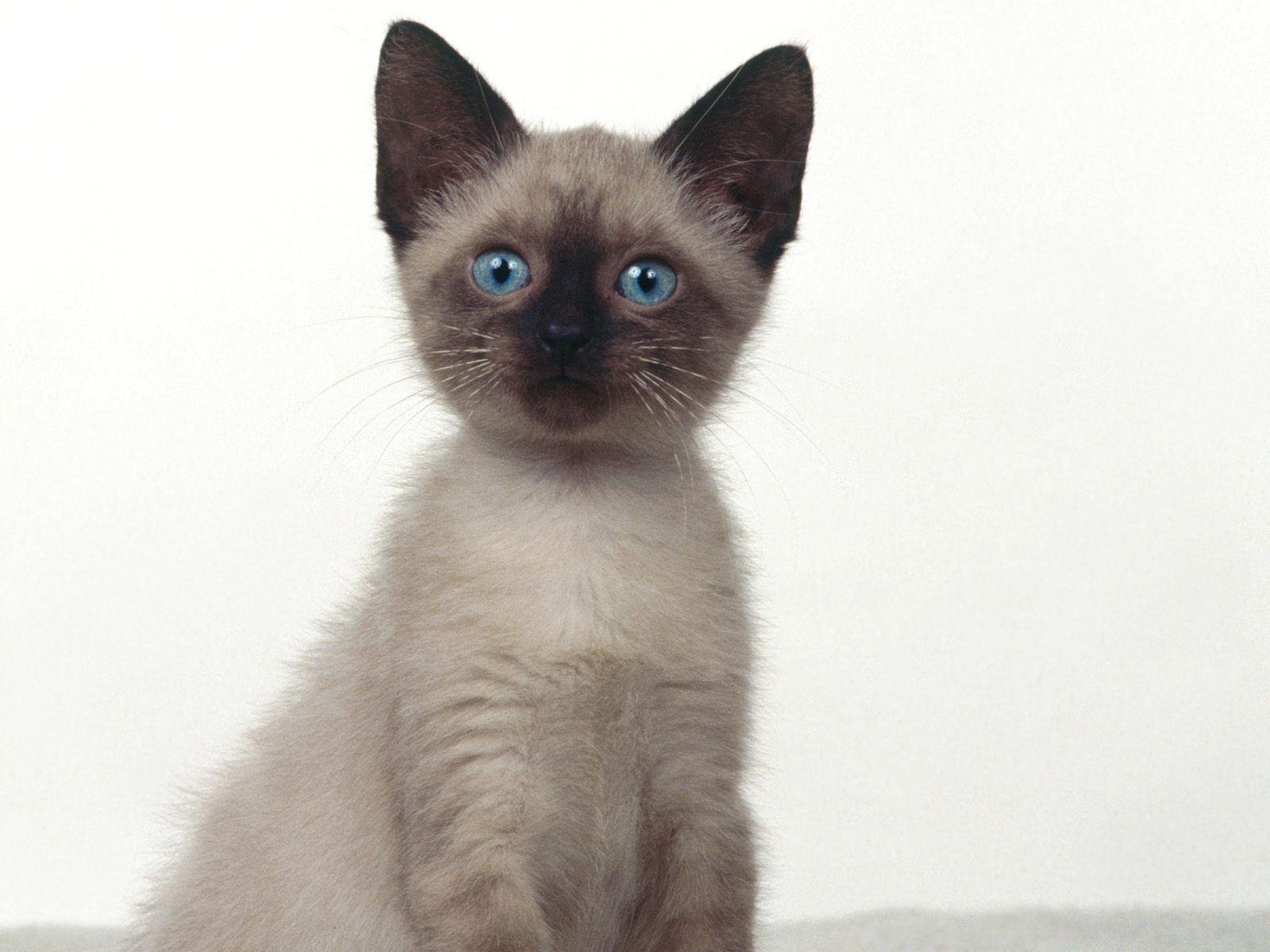 Siamese Kitten: Siamese Siamese Cat Breed