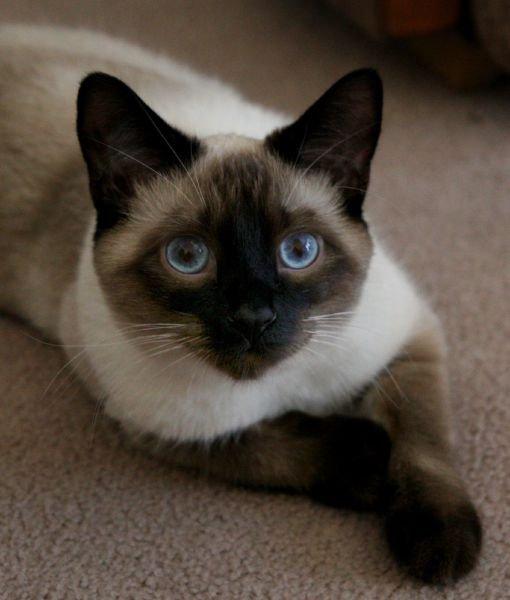 Siamese Cat: Siamese Siamese Cat Facts Breed
