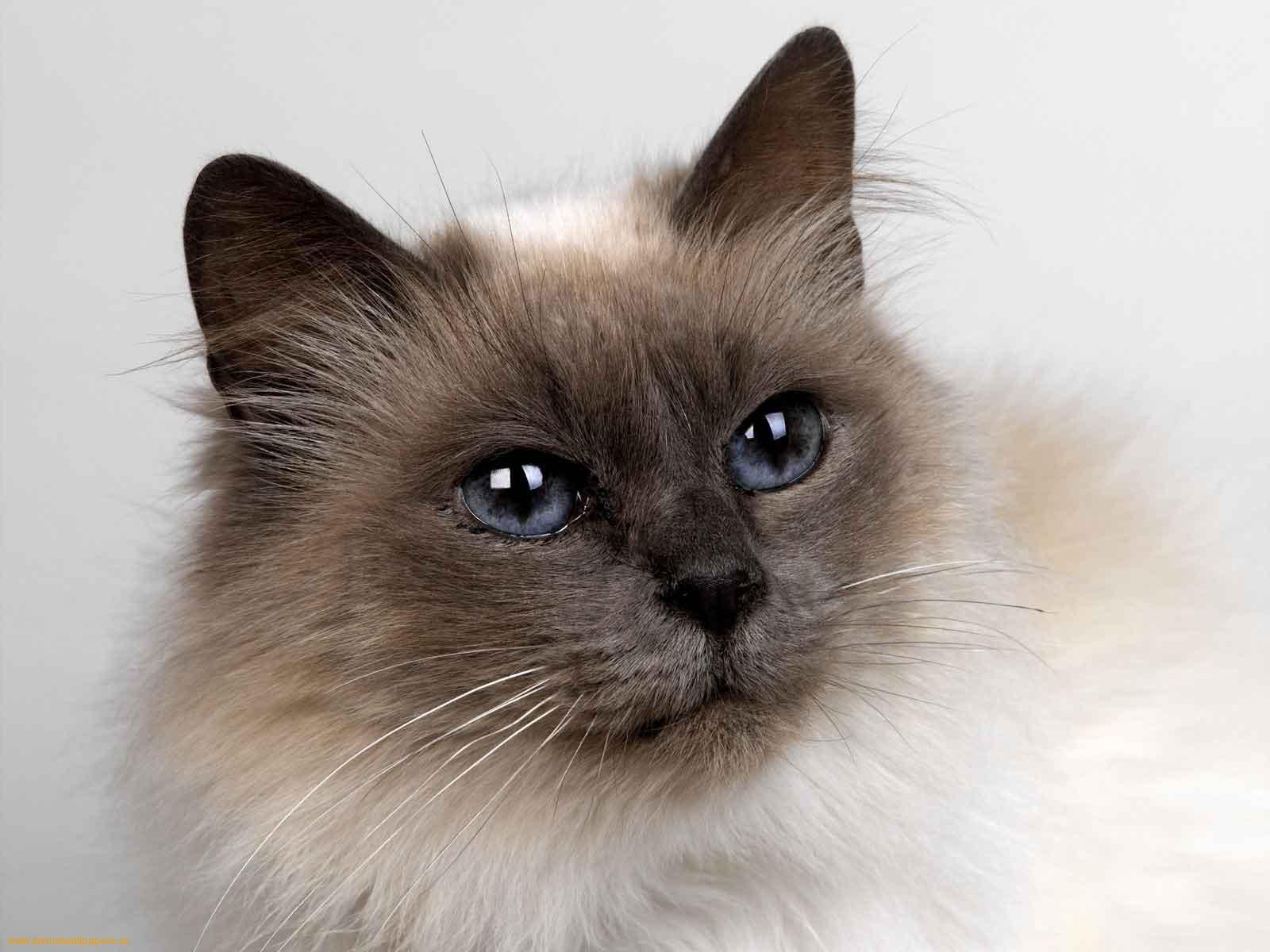 Siamese Cat: Siamese Siamese Cat Pictures Breed