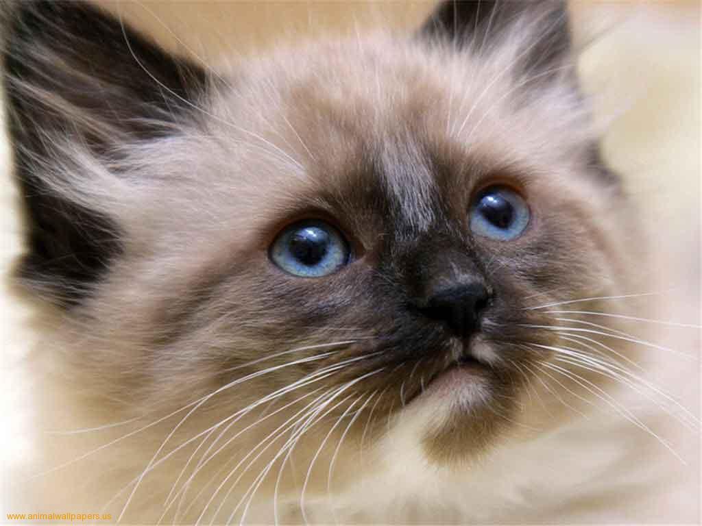Siamese Kitten - Puppy Dog Gallery