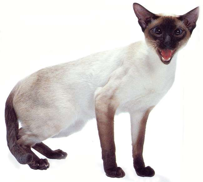 Siamese Cat: Siamese Siamese Cats For Adoption In Minnesota Breed