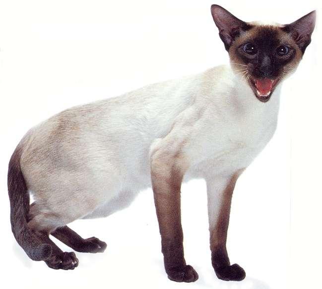 Siamese Cat: Siamese Siamese Cats For Adoption In Minnesota Breed