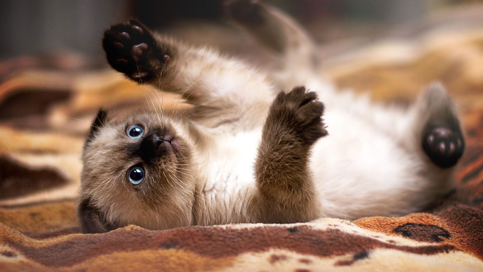 Siamese Kitten: Siamese Siamese Kitten Breed