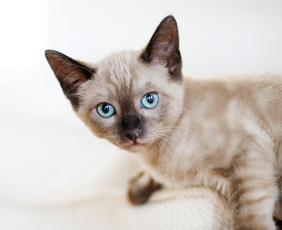 Siamese Kitten: Siamese Siamese Kitten Cindy Loughridge Breed