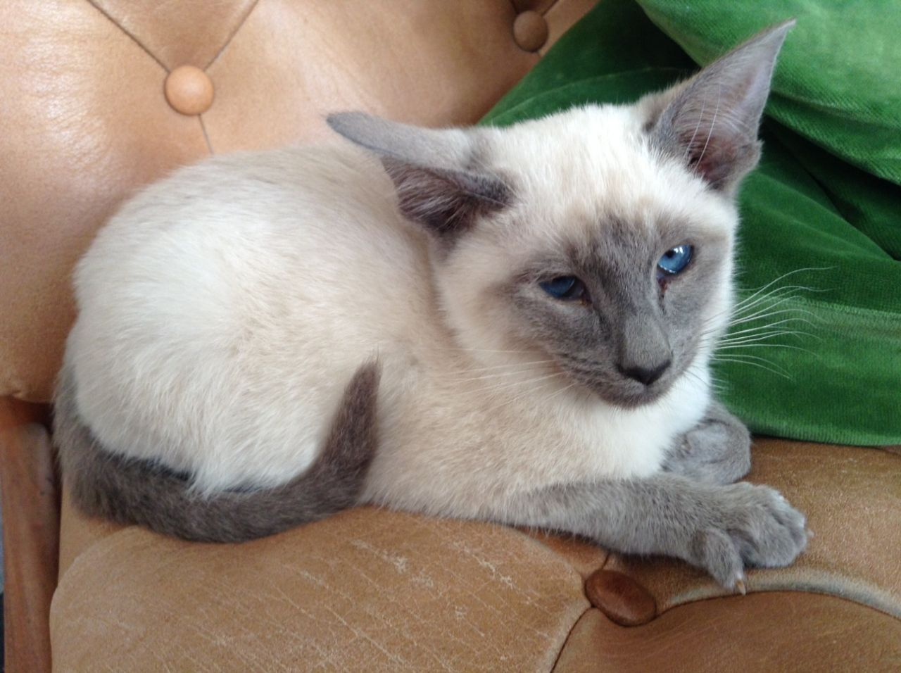 Siamese Kitten: Siamese Siamese Kitten London Breed