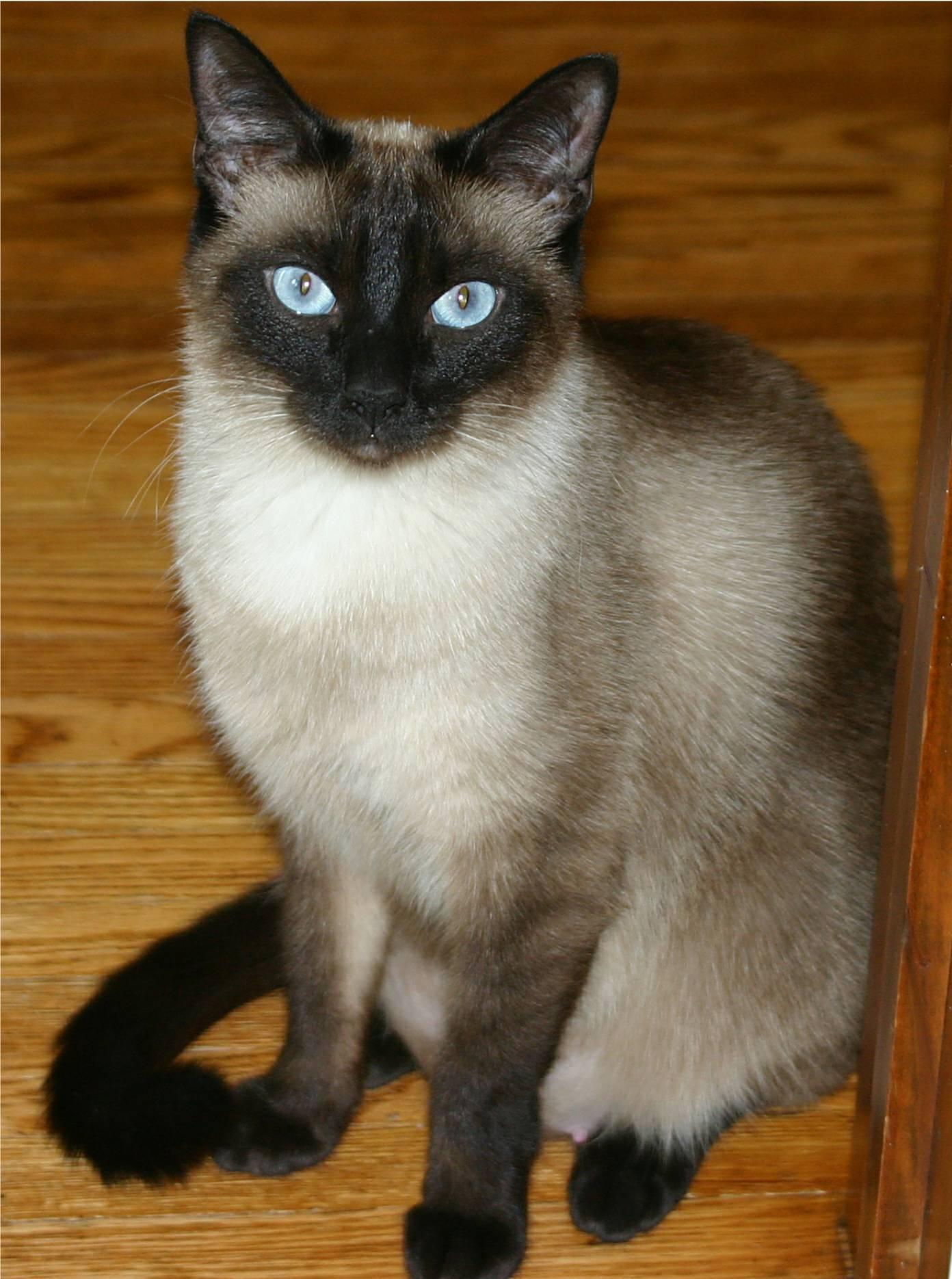Siamese Cat: Siamese Siamesecat Breed