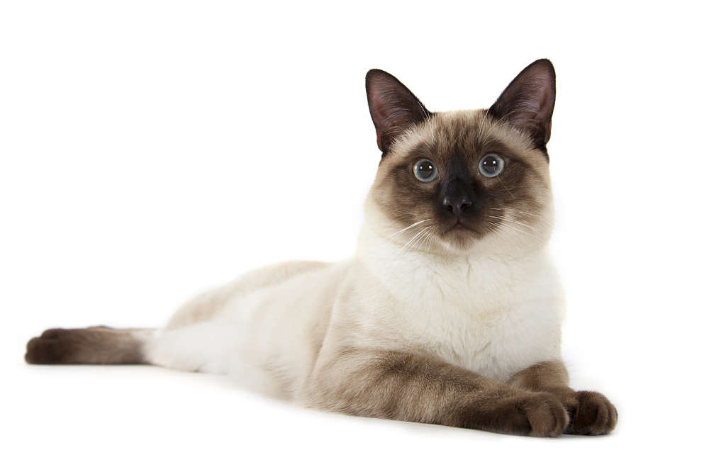 Siamese Cat: Siamese Traditional Siamese Cat Breed