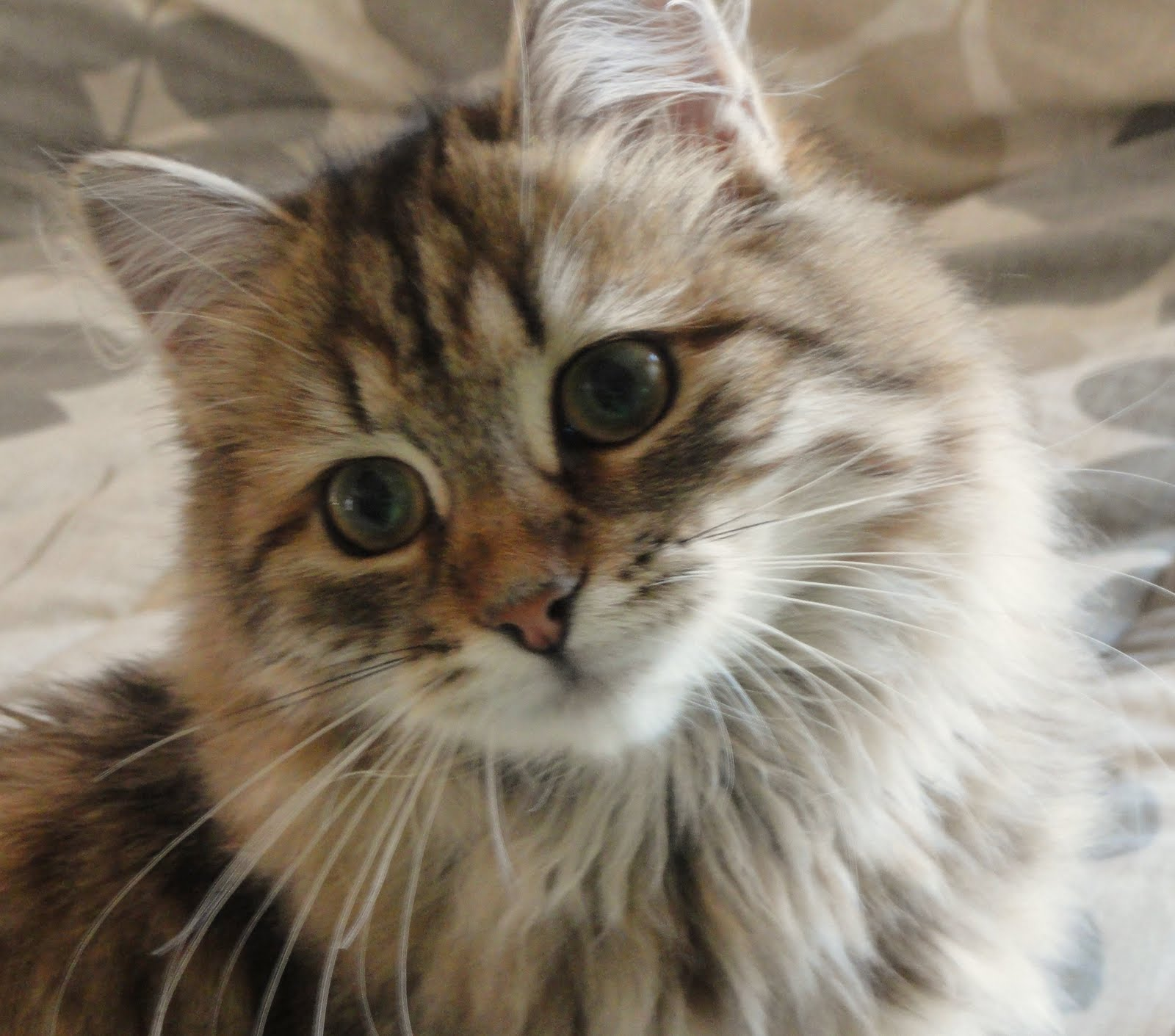 Siberian Cat: Siberian Archive Breed