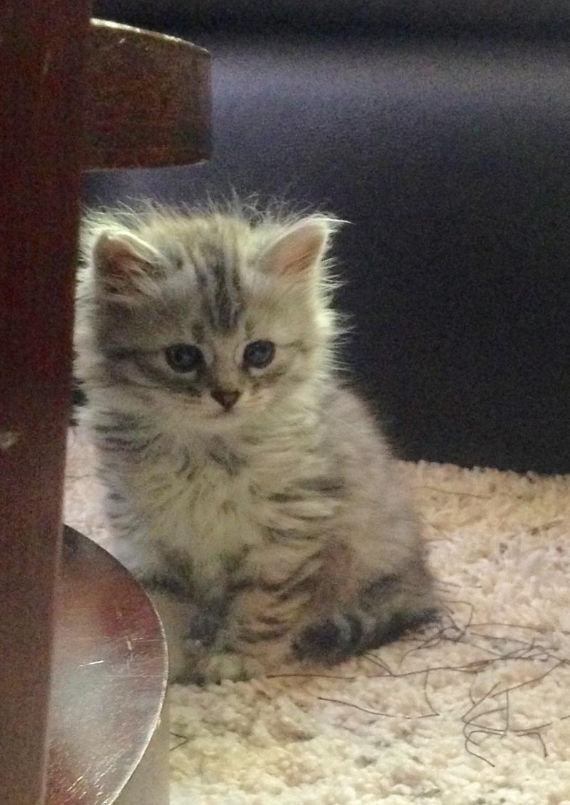 Siberian Kitten: Siberian Availablesiberiankittens Breed