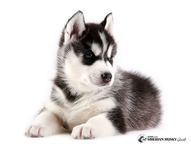 Siberian Husky Puppies: Siberian Before You Buy A Siberian Husky Puppy Breed