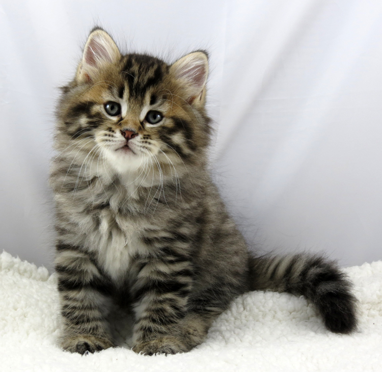 Siberian Kitten: Siberian Buying A Mystic Melody Kitten Breed