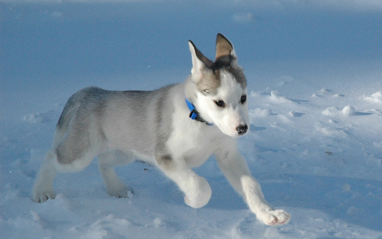 Siberian Husky Puppies: Siberian Cute Siberian Husky Puppies Breed
