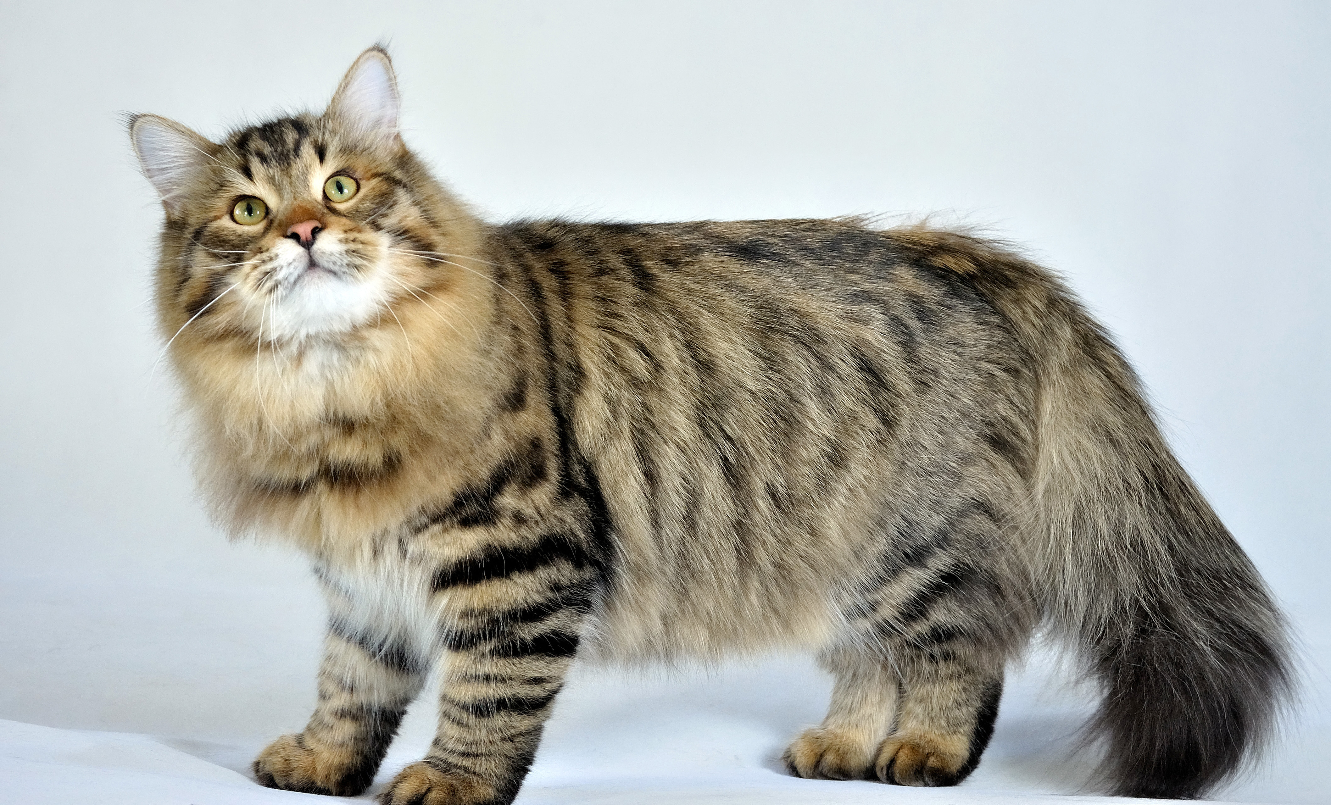 Siberian Cat: Siberian Funnycats Breed