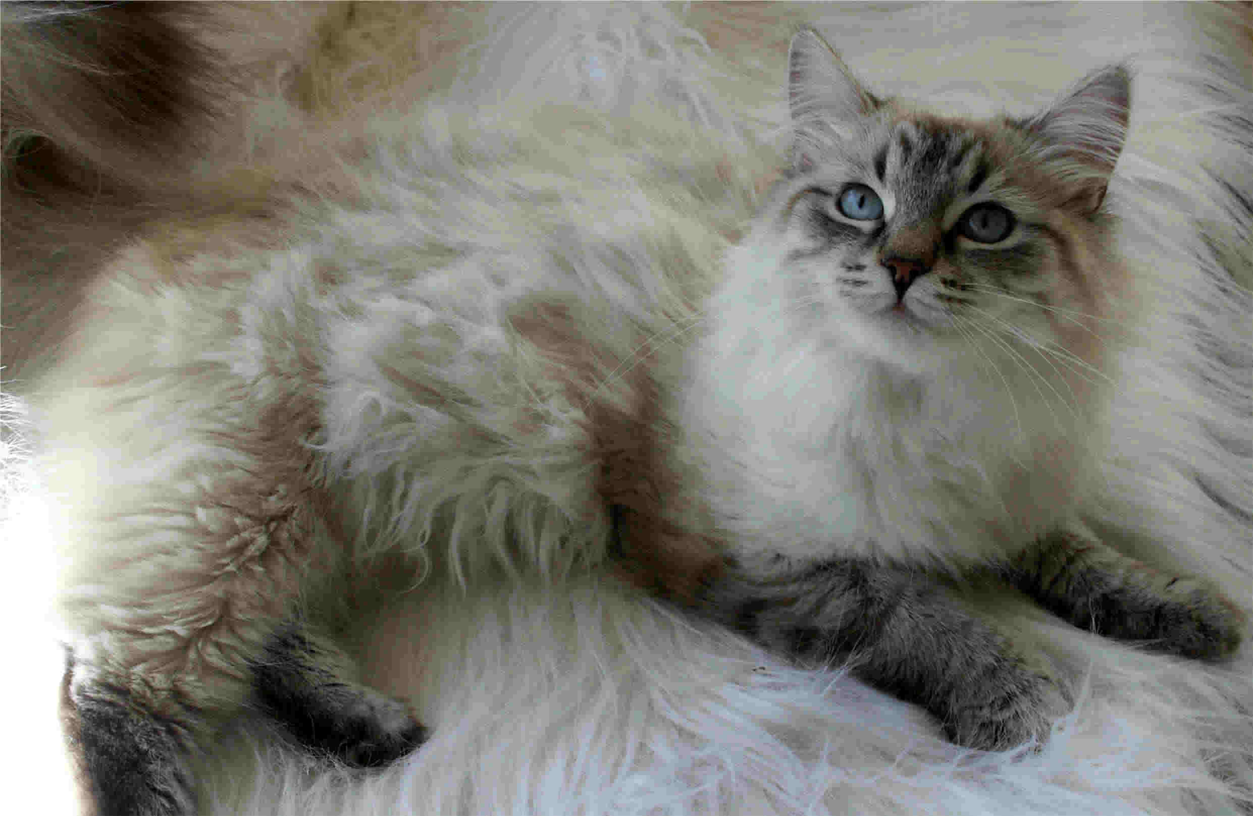 Siberian Cat: Siberian Httpwwwtiptopglobecombig Siberian Cat Jpg Breed