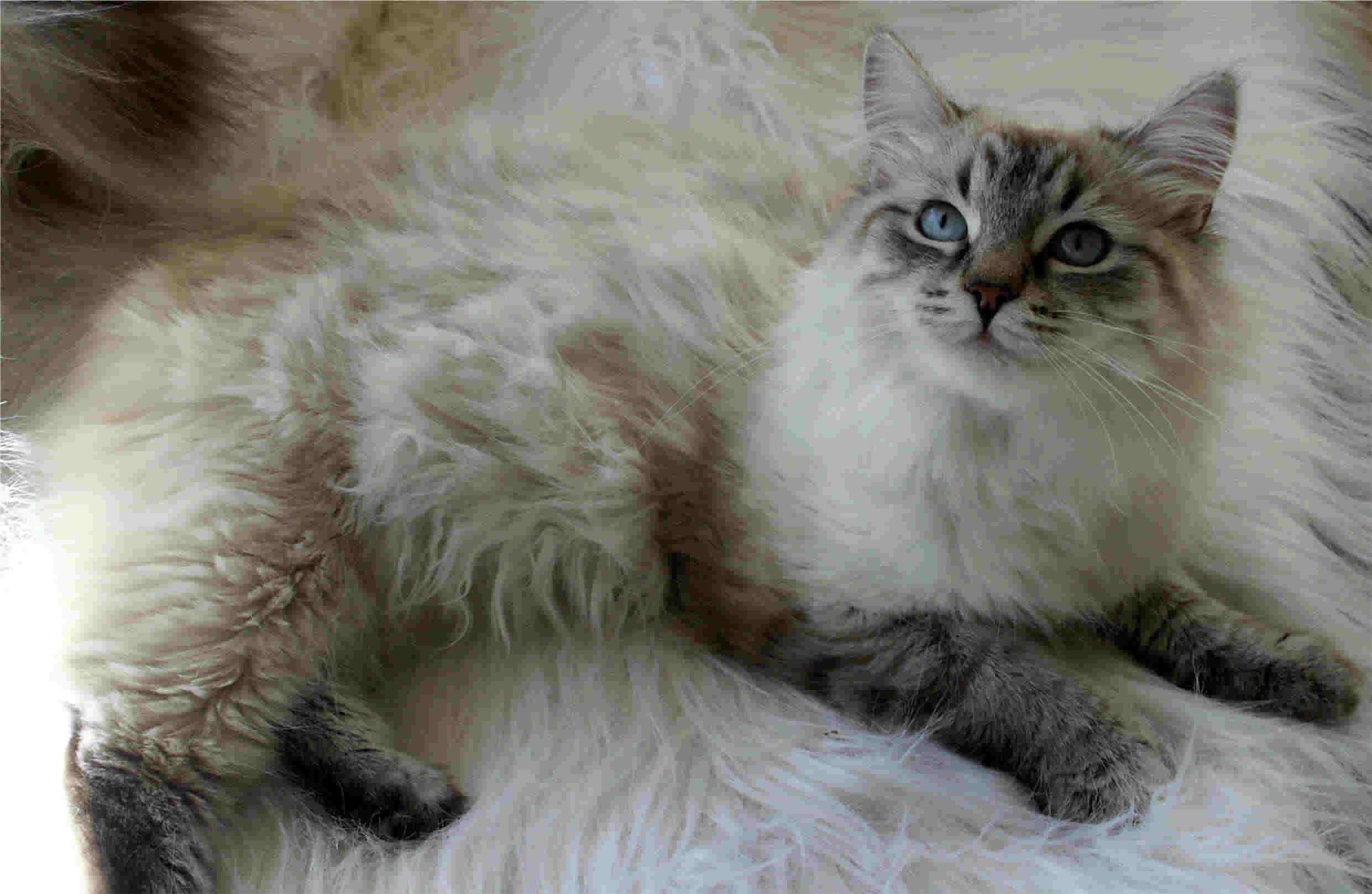 Siberian Cat: Siberian Httpwwwtiptopglobecombig Siberian Cat Jpg Breed