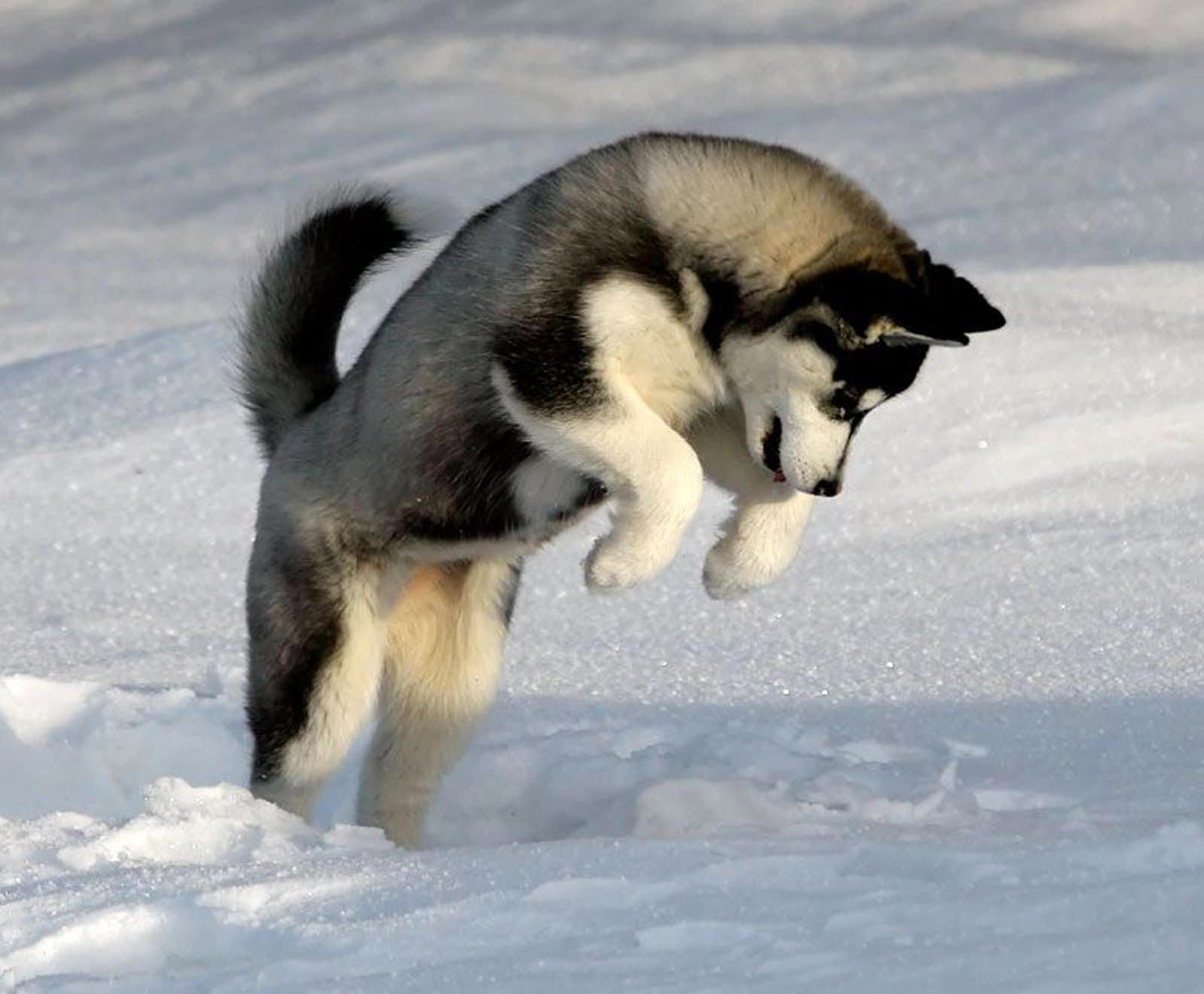 Siberian Husky Dog: Siberian Husky Temperament Breed