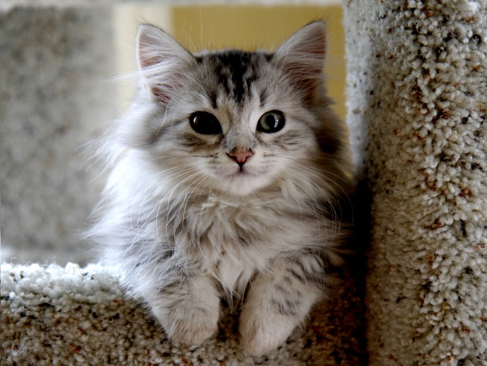 Siberian Kitten: Siberian Kitten Grooming Sessions Breed
