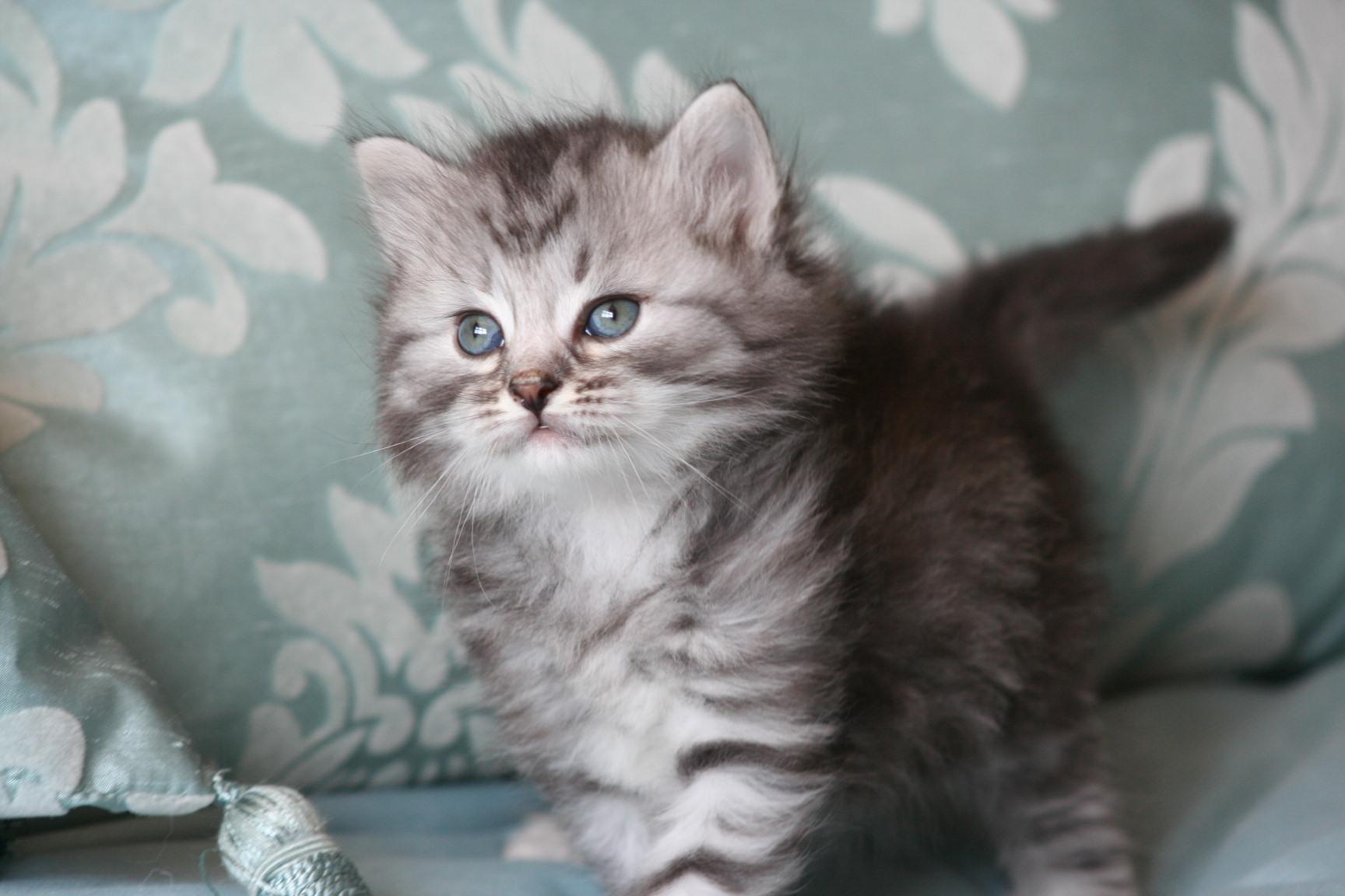 Siberian Cat: Siberian Petscollect Breed