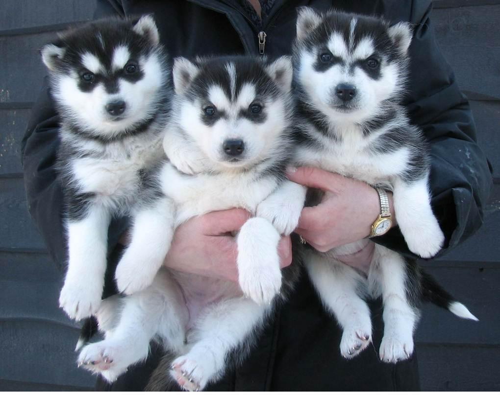 Siberian Husky Puppies: Siberian Puppies Breed