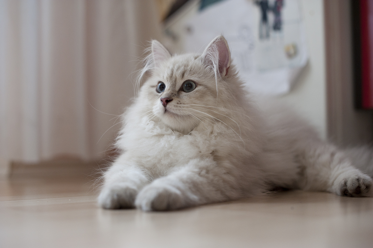 Siberian Cat: Siberian Siberian Cat Breed