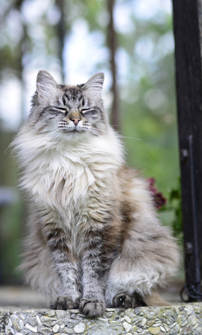 Siberian Kitten: Siberian Siberian Cats Breed