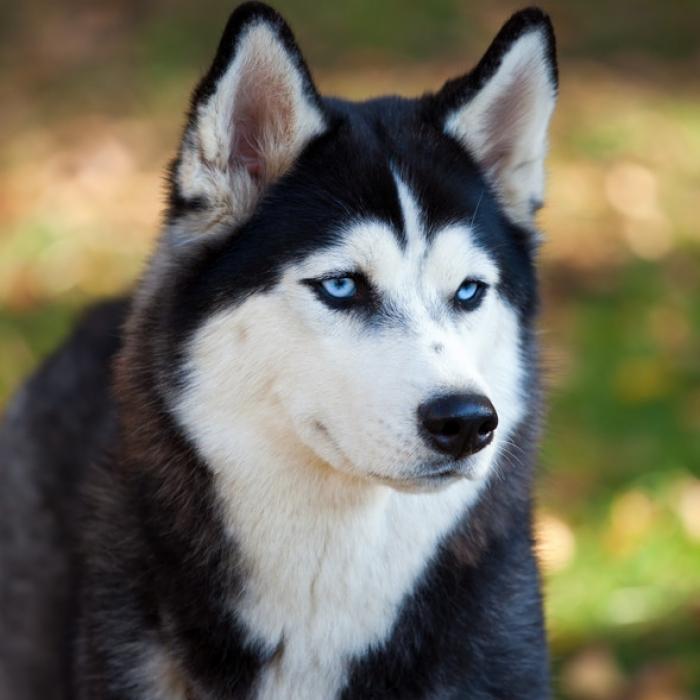 Siberian Husky Puppies: Siberian Siberian Huskies Breed