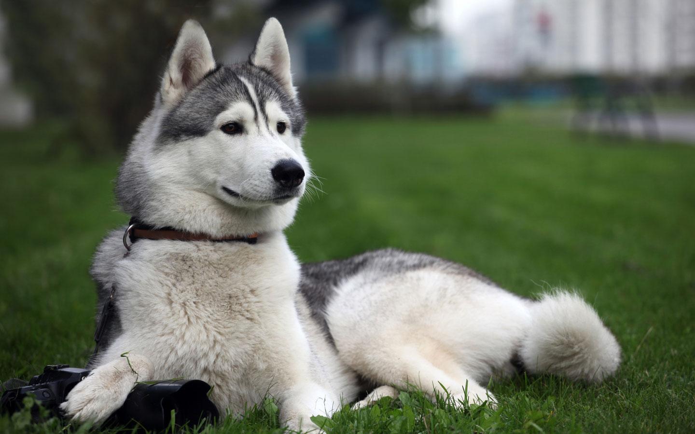 Siberian Husky Dog: Siberian Siberian Husky And His Hypnotizing Eyes Breed