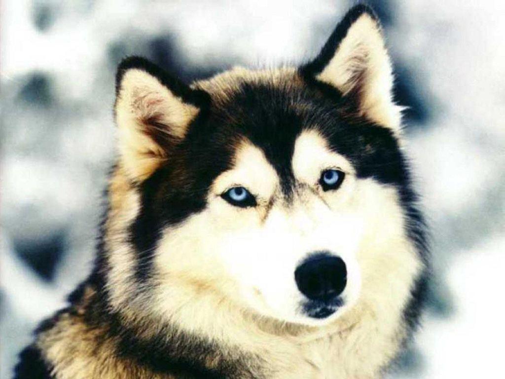 Siberian Husky Dog: Siberian Siberian Husky Breed