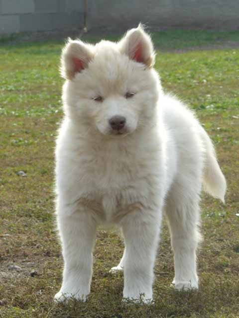 Siberian Husky Dog: Siberian Siberian Husky Dog Breeders Pictures