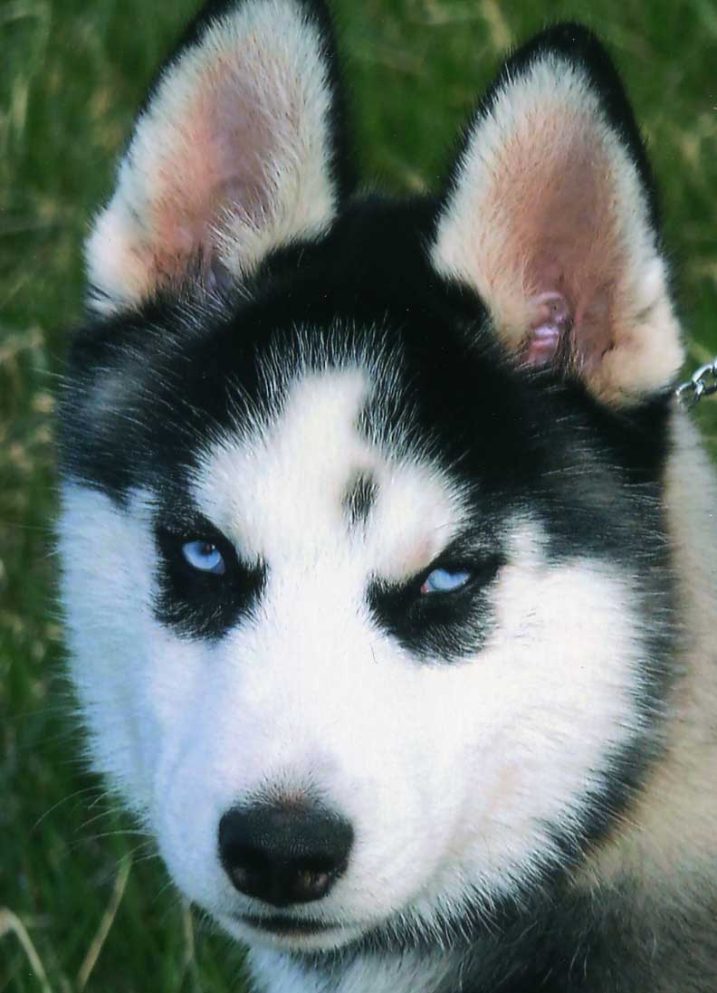 Siberian Husky Dog: Siberian Siberian Husky Dog Specs Pictures Breed
