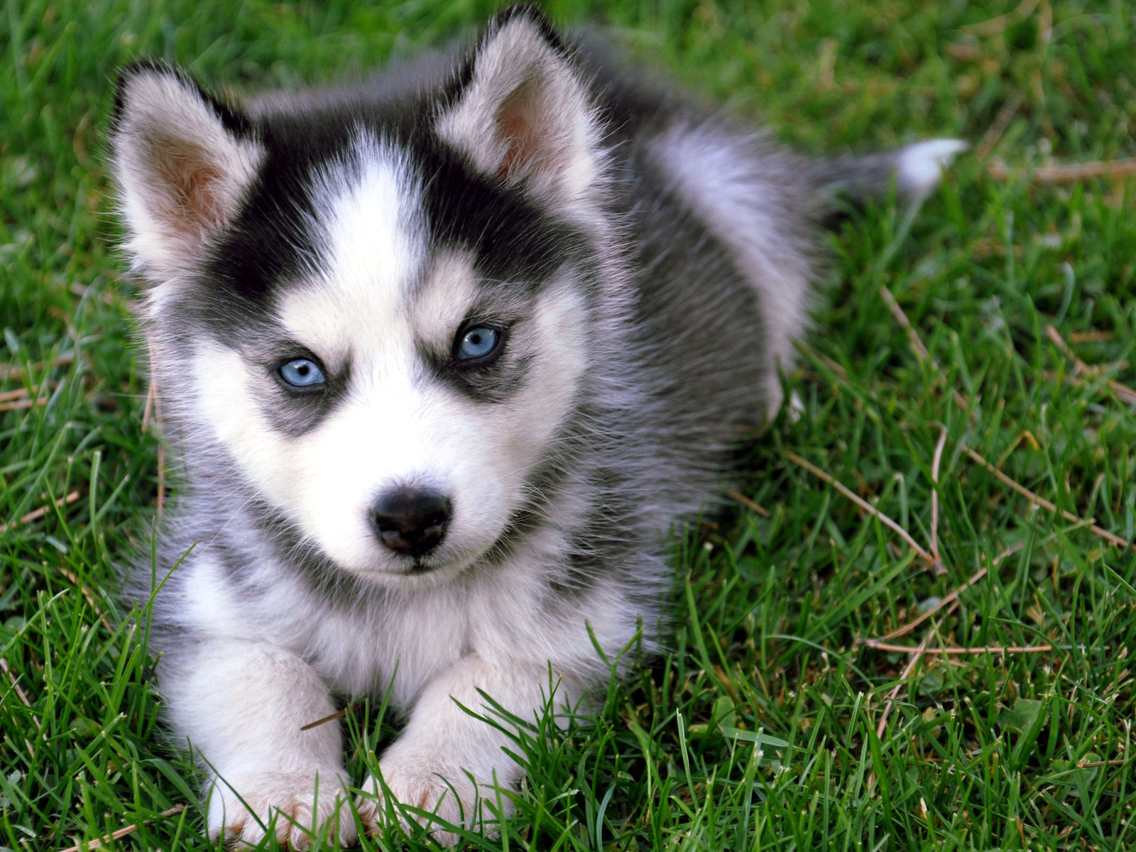 Siberian Husky Puppies: Siberian Siberian Husky Dog Training And Caring Breed