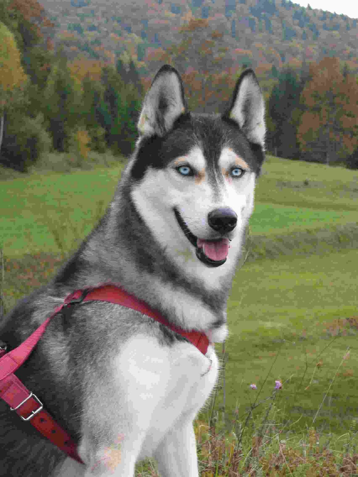 Siberian Husky Puppies: Siberian Siberian Husky History Breed