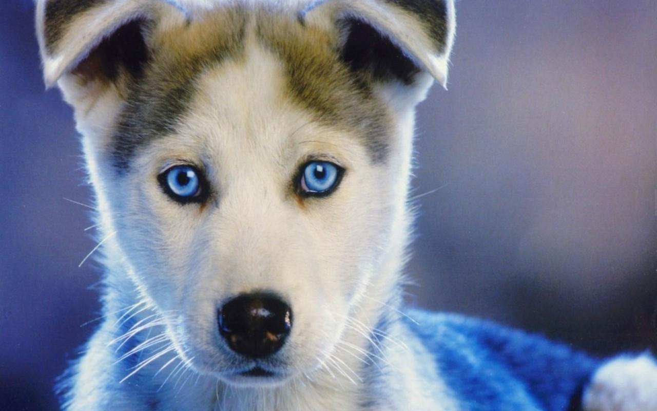 Siberian Husky Puppies: Siberian Siberian Husky Puppy Breed
