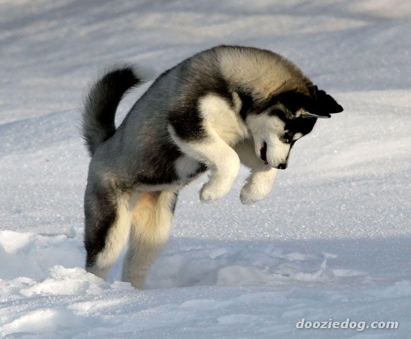 Siberian Husky Puppies: Siberian Siberian Husky True Winter Dog Breed